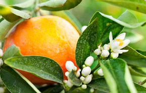 Moroccan Orange Flower Absolute