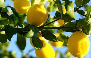 Petitgrain Citronnier essential oil
