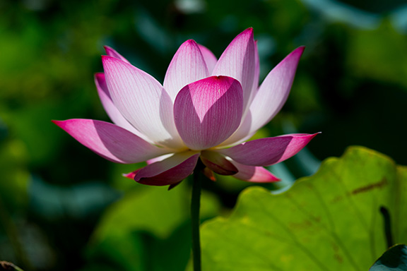 Pink Lotus Absolute