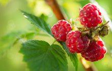 Raspberry Leaf Absolute