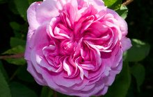 Moroccan Rose Absolute