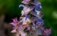 French Clary Sage Absolute