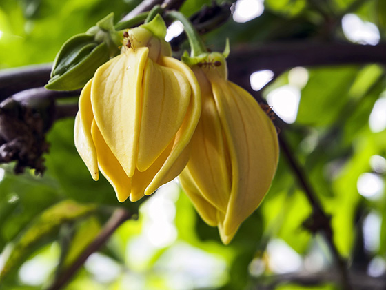 Ylang Ylang Absolute