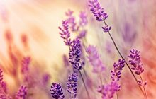 bulgarian-lavender-absolute