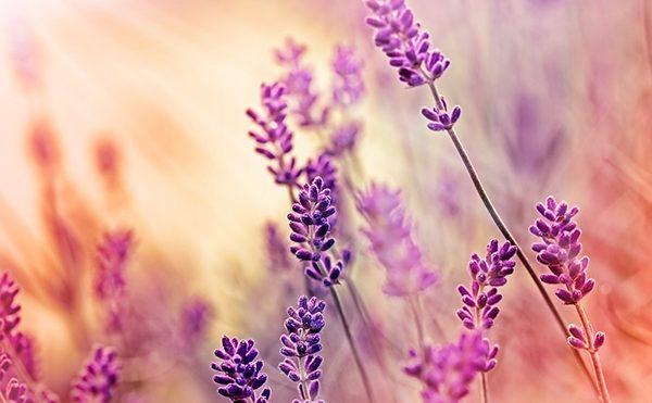 Lavender Absolute Bulgarian