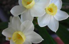 daffodil-tazetta