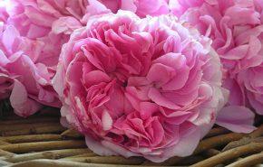 Rose Absolute Pink Supreme