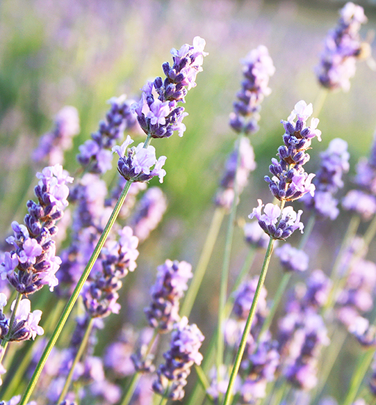 Lavender Concrete