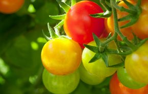 Tomato Leaf Absolute