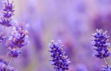 Lavender-Italia-Essential-Oil