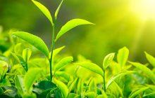 Green Tea CO2