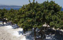 Chios-Mastic-Mastiha-Tincture