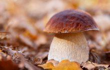 Porcini mushroom absolute