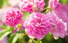 Rose Bulgarian Otto
