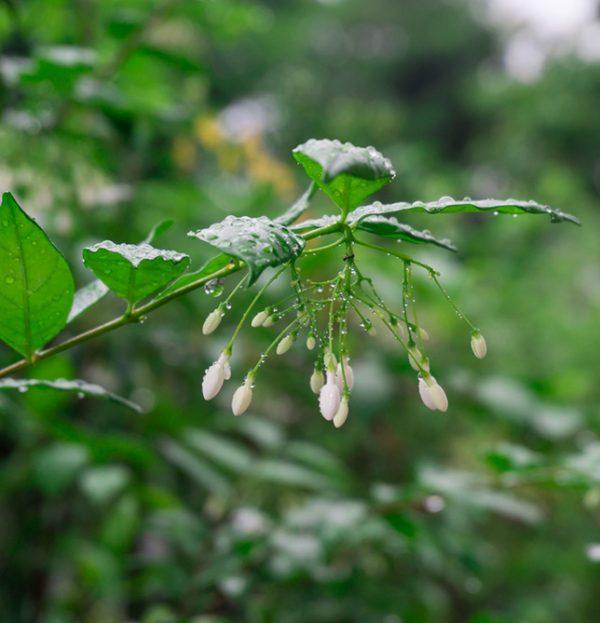 Jasmine auriculatum absolute