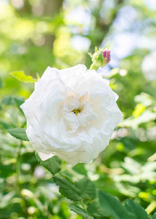 White Rose Otto Essential Oil