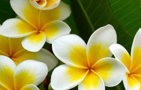 white frangipani absolute