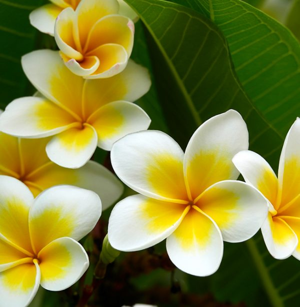 white frangipani absolute