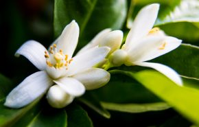 Orange Blossom Absolute Signature Gold