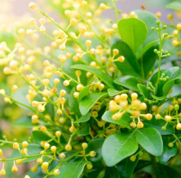 Aglaia flower absolute