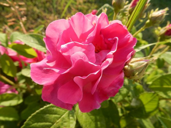 Rose Gallica Absolute