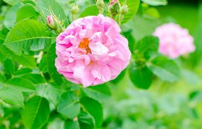 Rose Otto Persian Sweetie
