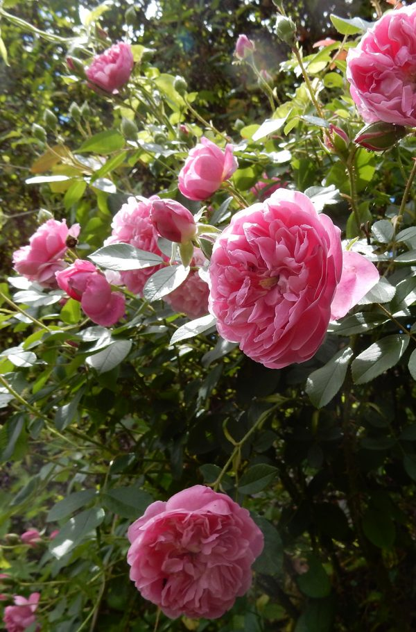 rose otto Shahbanu