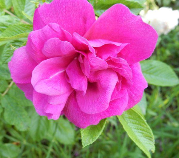 Japanese Rose Otto