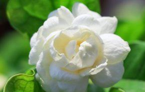 Chinese Jasmine sambac absolute